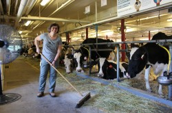 A woman sweeps some straw from the floor of a barn, next to several cows.