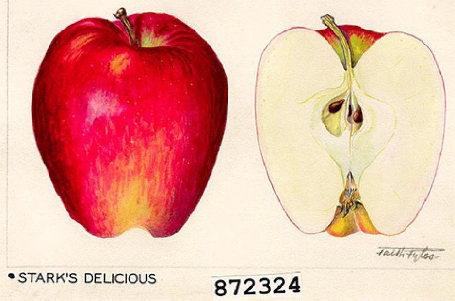 Faith Fyles' botanical illustration of an apple