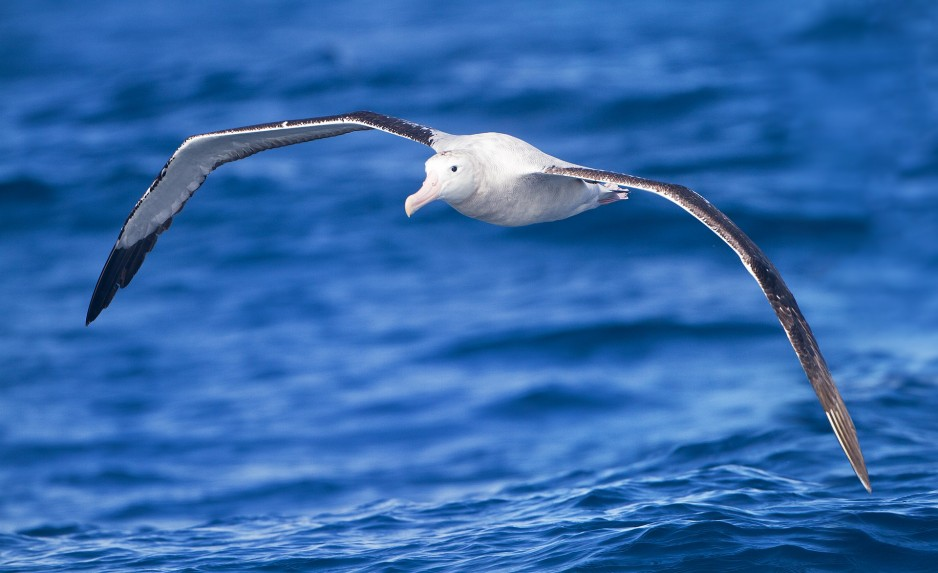A wandering albatross flies low over the surface of water, with its wings outstretched.