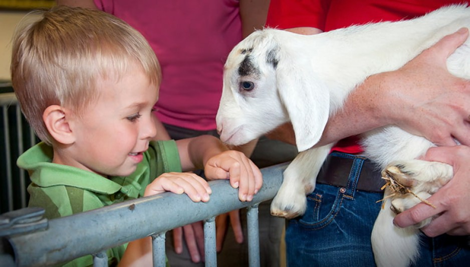 A young child watching a goat in a museum staff member's arms
