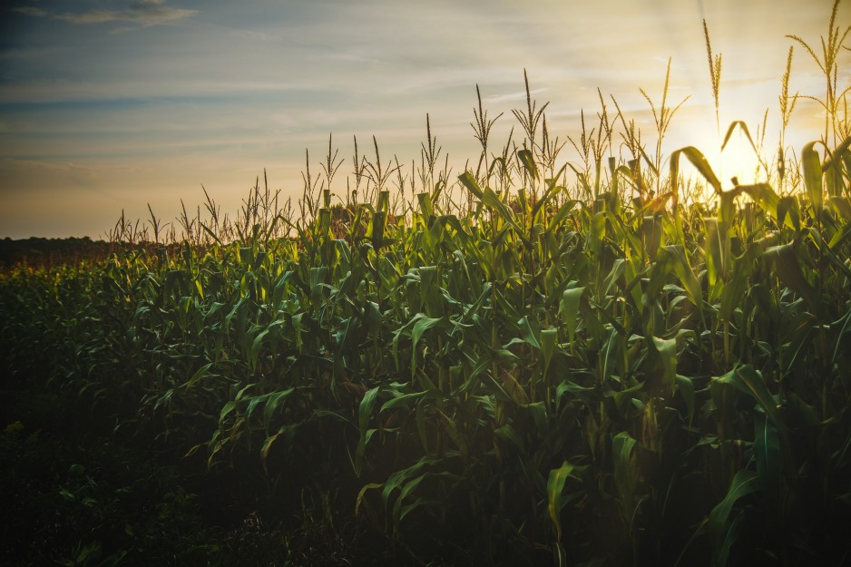 Tall corn plants stand in field, with sunset backlighting.