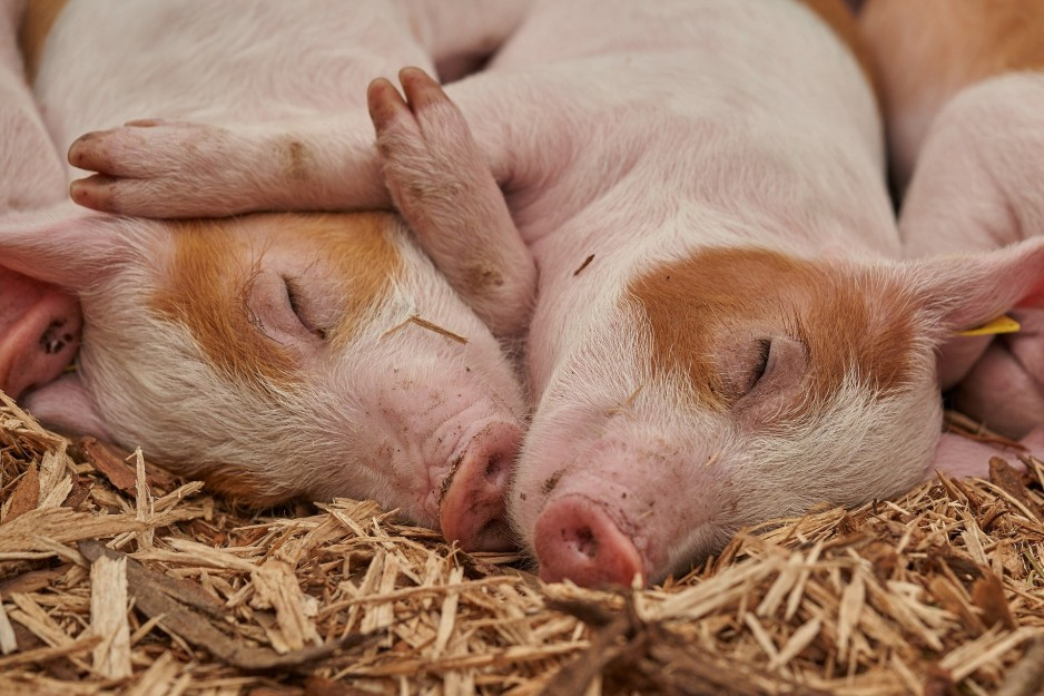 Two brown and pink piglets sleep next to each other on a bed of hay.