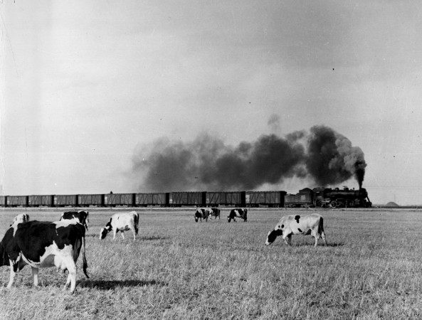 War record – A Western Canadian grain train passes a herd of cattle on its way to the head of the Great Lakes, 1939