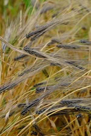 Yellow and brown-coloured barley stalks sway in the wind.