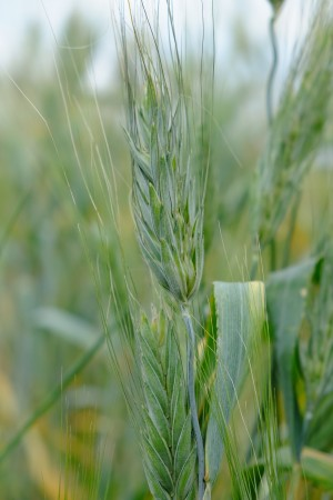 A close-up image of a green stalk of wheat growing in the field.