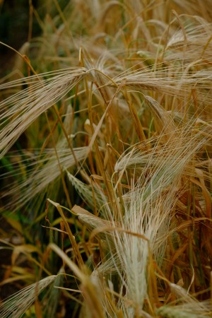 A close-up image of light yellow barley stalks growing in the field.