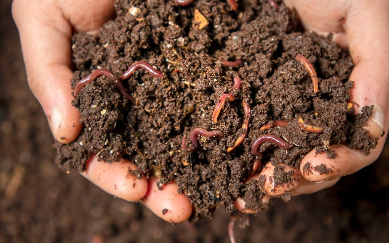 Two hands are outstretched over an open vermicomposting bin holding a small heap of a soil-like substance with small, red worms in it.