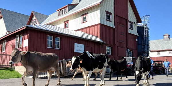 cows walking at the museum