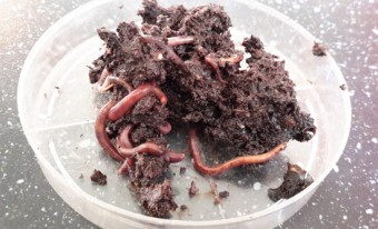 earthworms in soil