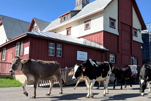 dairy cows walking outside at the Canada Agriculture and Food Museum