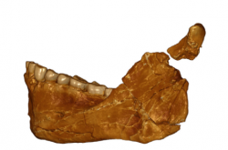 A photograph of the mandible of the newly discovered homo sapiens fossils