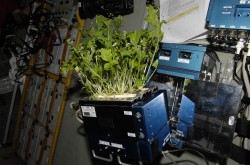 A plant growing on the International Space Station