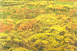A colourful image depicts a field of yellow alyssum; a fence and tall trees can be seen in the distance.