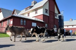 Cows walk in front of a building at the Canada Agriculture and Food Museum.