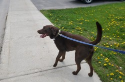A chocolate lab walking through a neighbourhood.