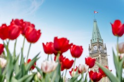 Red and white tulips are in full bloom under a blue sky; the Peace Tower of Parliament Hill is visible in the background.