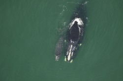A North Atlantic right whale is seen swimming alongside her calf in green water