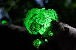 Bioluminescent fungi on a branch